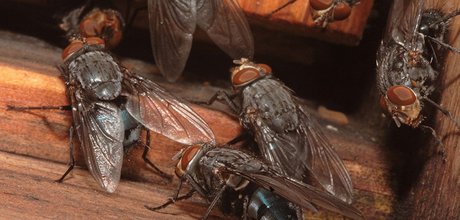Cluster Fly, Blue Bottle, Mosquitoe infestation Wolverhampton Pest Control Flies