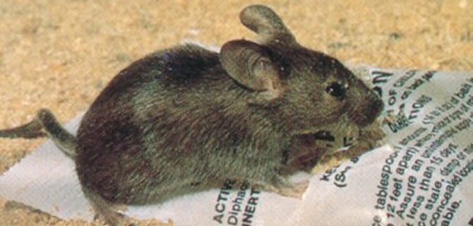 Mice House Mouse Pets Control Wolverhampton - Mouse Treatment