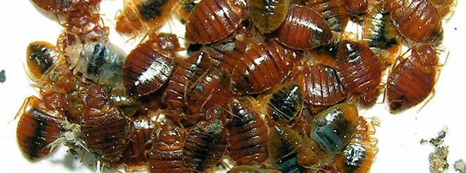 Wolverhampton Pest Control Service: professional pest control service for Bed Bugs Wolverhampton, Birmingham & The West Midlands, please contact us for more info.