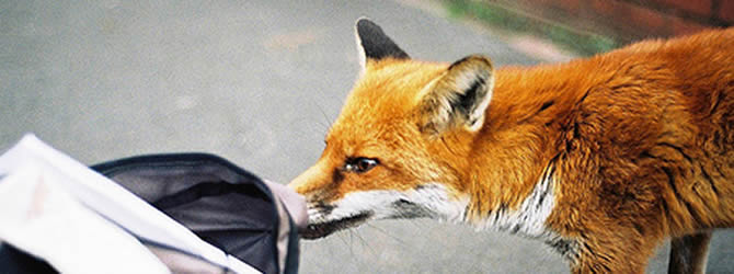 Wolverhampton Pest Control Service: professional pest control service for Foxes Wolverhampton, Birmingham & The West Midlands, please contact us for more info.