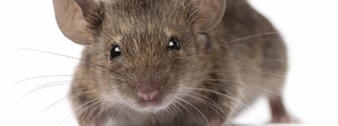 Wolverhampton Pest Control Service: professional pest control service for Mices/Common House Mouse Wolverhampton, Birmingham & The West Midlands, please contact us for more info.