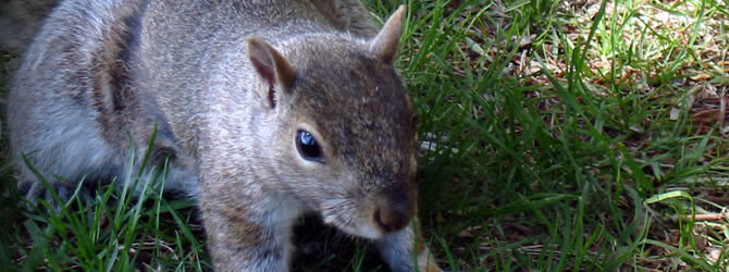 Wolverhampton Pest Control Service: professional pest control service for Squirrels Wolverhampton, Birmingham & The West Midlands, please contact us for more info.