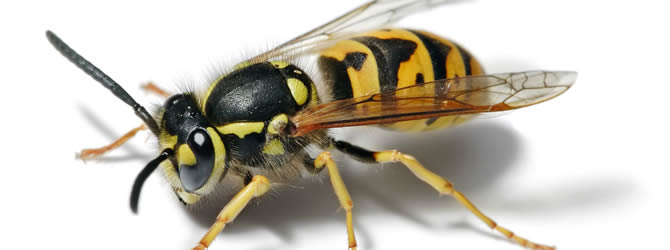 Wolverhampton Pest Control Service: professional pest control service for Wasps Wolverhampton, Birmingham & The West Midlands, please contact us for more info.